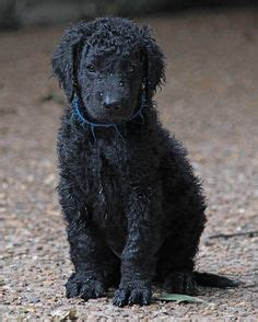1000+ images about Curly Coated Retriever on Pinterest ...
