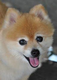 pomeranian teeth problems common pomeranian health problems