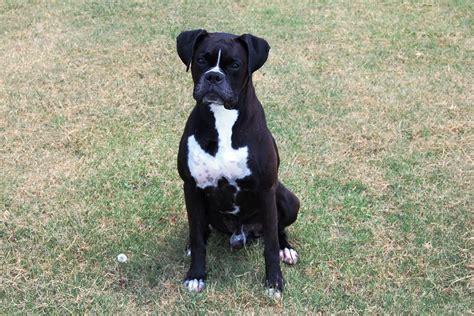 black boxer puppies for sale akc black boxer chion boxer puppy for sale in boxer breeder black boxer puppy