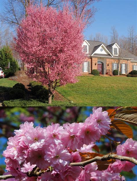 33 cherry tree 21 best images about gardening facts on