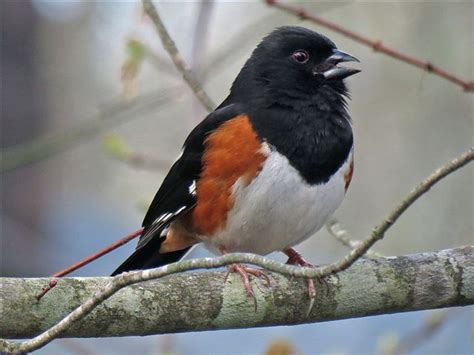 rufous sided towhee birds pinterest