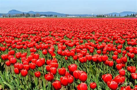 tulip feilds skagit valley tulip fields john roberts photography and