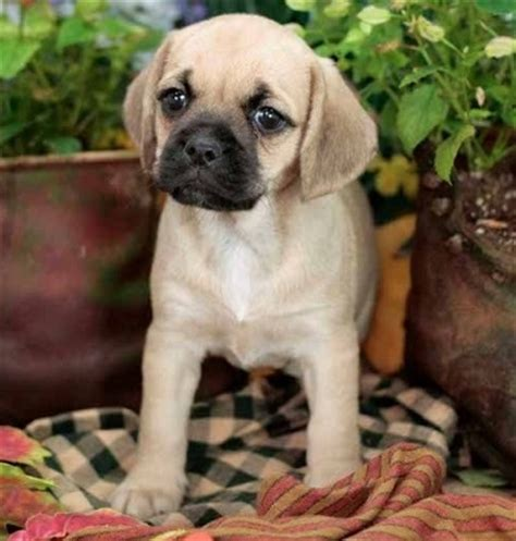 pugs and beagles pug and beagle puggle animals