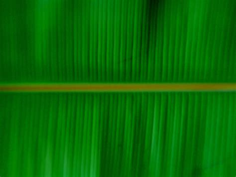 banana leaf hd wallpaper banana leaf fruit wallpaper