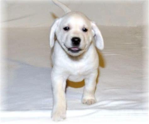 free puppies orlando fl lab puppies for adoption for sale adoption from orlando florida adpost