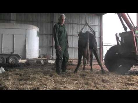 Cowhide Suppliers - lifting the cow