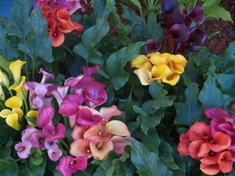 calle in vaso calla coltivazione fiori da giardino come coltivare la