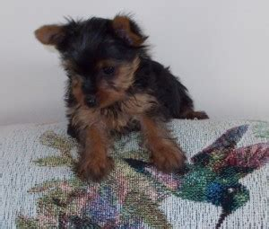 yorkie puppies montgomery al pets montgomery al free classified ads