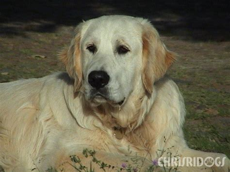 max golden retrievers golden retrievers golden retrievers from chrisridogs south africa