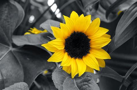 gambar bunga matahari hitam putih gambar viral hd
