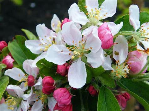 malus da fiore malus floribunda golden hornet melo da fiore arbusti