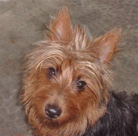 australian yorkie terrier australian terrier photos pictures puppies australian terriers