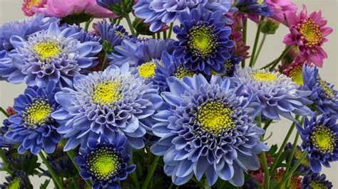chrysanthemum colors scientists genetically engineer the world s blue