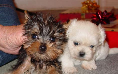 maltese and yorkie puppies puppy dogs maltese yorkie puppies