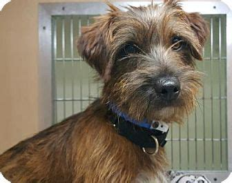 norwich terrier yorkie mix 27324 best images about adopt a hound on adoption dachshunds for adoption