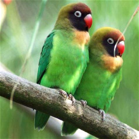 birds black cheeked lovebird
