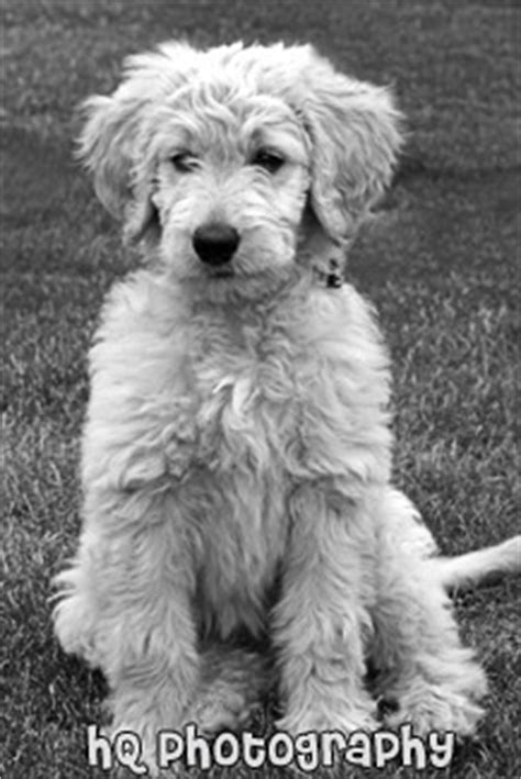 goldendoodle puppy growling pics for gt black and white goldendoodle