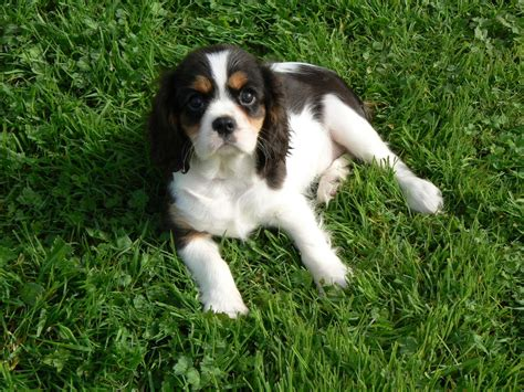 cavalier spaniel puppies cavalier king charles spaniel puppies kidwelly carmarthenshire pets4homes