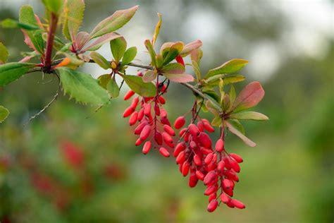 Backyard Firepit Ideas how to prune barberry shrubs
