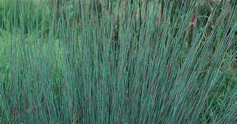 Set Grass Zc serenity in the garden a great grass for your