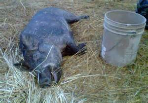 Wild hog snare traps