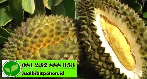 Harga Bibit Pohon Durian Merah benih durian archives jual bibit pohon 081232888353