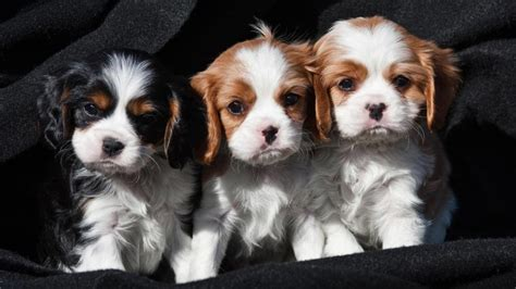 king charles cavalier puppies price cavalier king charles spaniel charactristic appearance and pictures