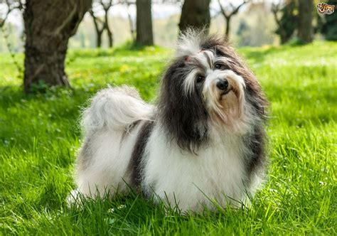 havanese toronto havanese animal planet breeds picture
