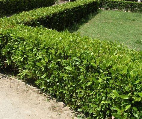 piante mediterranee da vaso piante da siepe in vendita solopiante