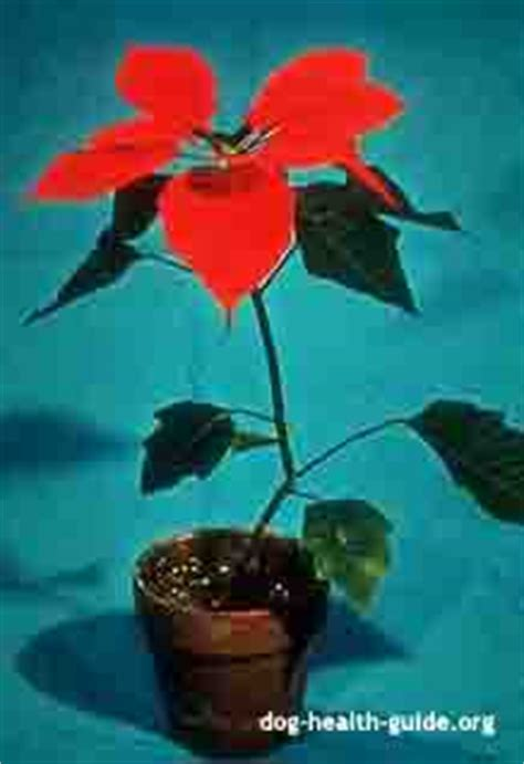 poinsettia and dogs plant poisonous to dogs list symptoms and treatment