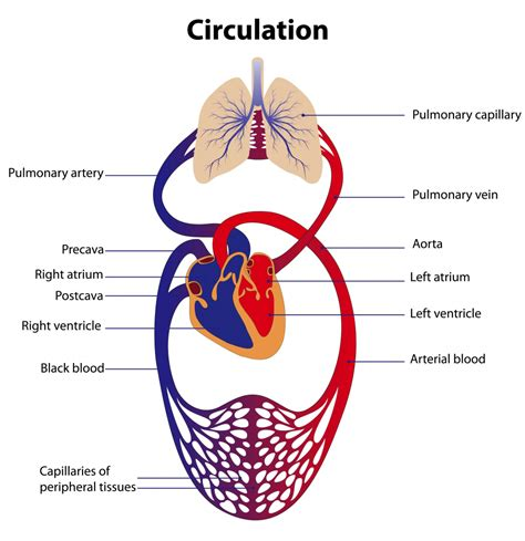 What Is Circulation Section by Human Circulatory System Blood Circulation In Human Human Anatomy Diagram Photo Human