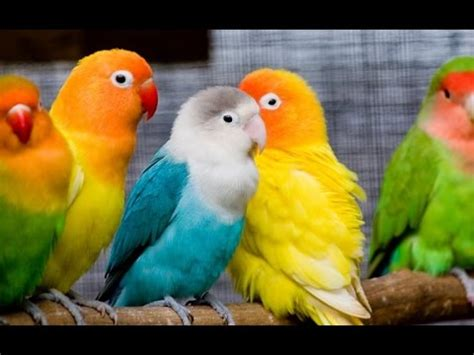 love birds in a pet shop youtube