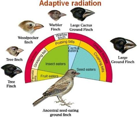adaptive radiation diagram in regards to evolution what is adaptive radiation quora