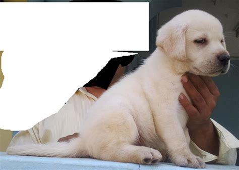 golden retriever price in chennai golden retriever puppies price in coimbatore photo