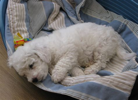 puppy in sleep bichon frise puppy sleep in its big bed png hi res 720p hd