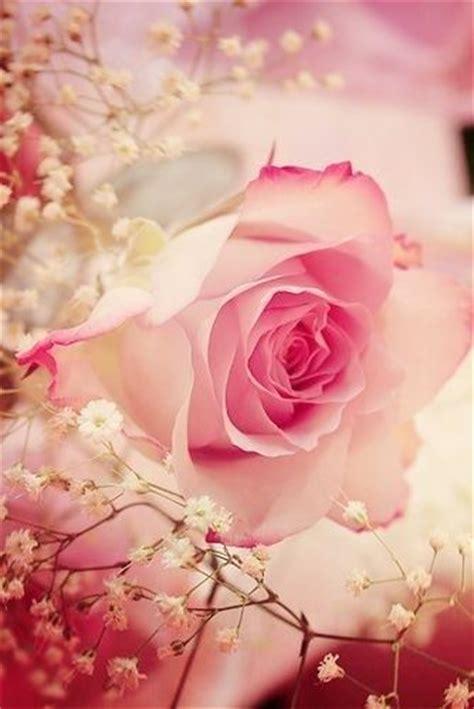 imagenes de rosas rojas y rosadas primavera aforismi poesie e foto