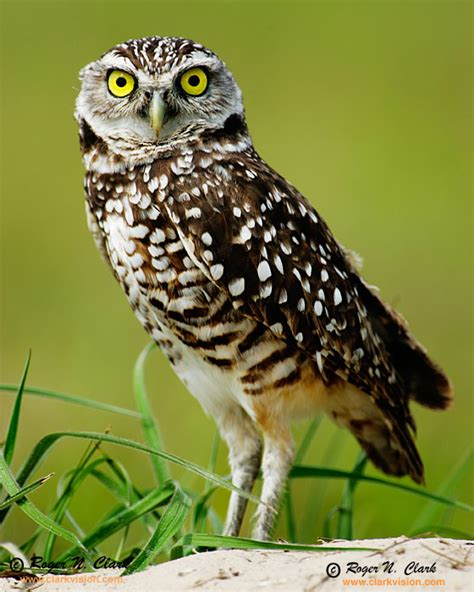 clarkvision photograph burrowing owl 8972