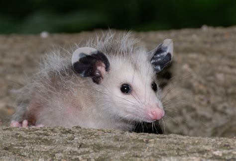 how to get rid of a possum in backyard how to get rid of belly fat
