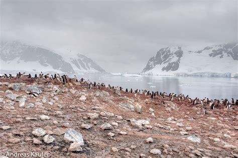 Gentoo penguin colony on Danco Island, Antarctic Peninsula ...