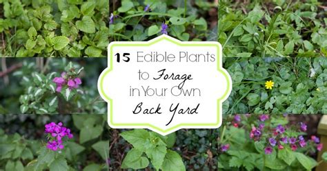 edible plants in your backyard 15 edible plants to forage in your own back yard and