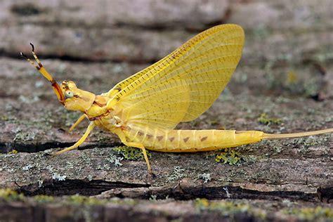 yellow mayfly pattern order ephemeroptera ent 425 general entomology