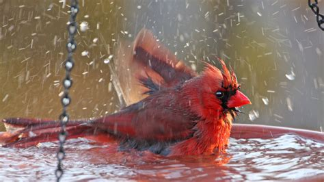 splish splash why do birds take baths cool green science