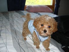 teacup poodle rescue indiana lorene s poodles on poodles poodle and