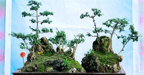 Jual Bakalan Bonsai Sancang ciri ciri tanaman bonsai sancang centralbonsai