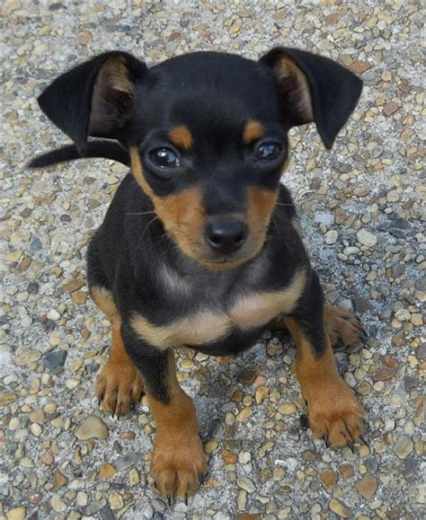 mini pinscher puppy breeds photos