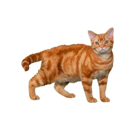 american wirehair cat breeders cat breed finder petcentric by purina