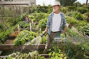 watering vegetable garden watering vegetable garden with hose stock photo