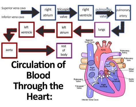 Pattern Of Blood Flow Quizlet   anatomy physiology circulatory system flashcards easy