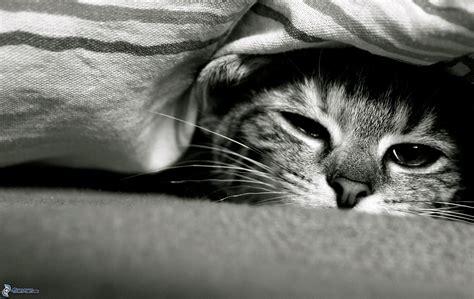 imagenes blanco y negro de gatos gato