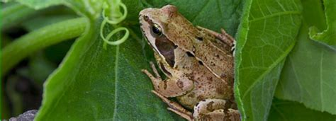 How To Catch A Frog In Your Backyard by Frogs The Backyard Naturalist The Backyard Naturalist